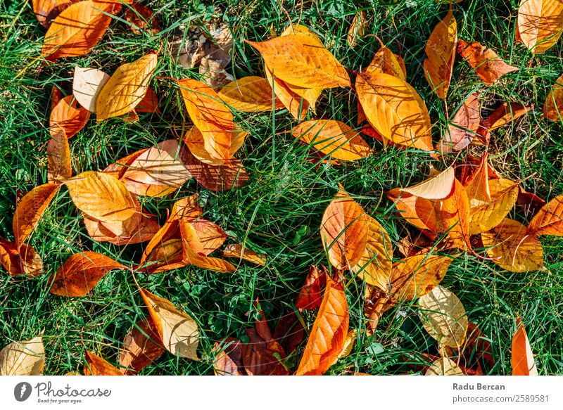 Orange And Red Autumn Leaves In Fall Season Garden Environment Nature Landscape Plant Tree Grass Leaf Park Forest Bright Natural Brown Yellow Gold Green Colour