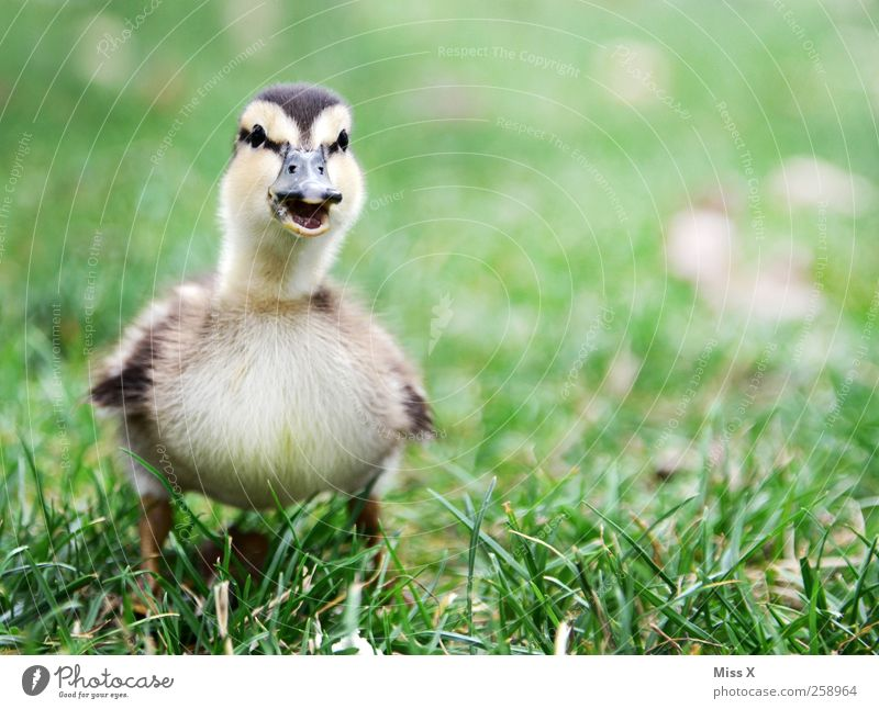 Mama? Animal Grass Meadow Bird 1 Baby animal Scream Cuddly Small Curiosity Cute Duckling Chick Quack chatter Colour photo Exterior shot Close-up