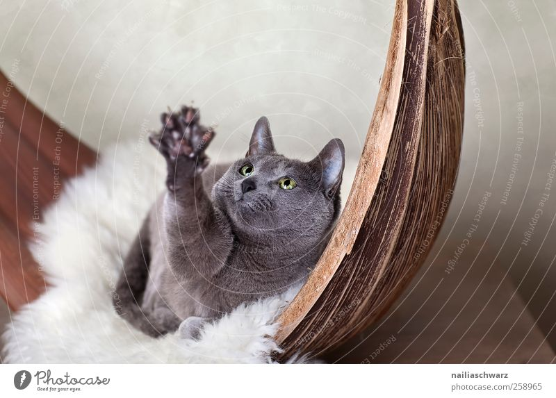 Cat Blue Beautiful Animal Playing Wood Gray Movement Brown Contentment Lie Desire Observe Catch Cuddly Pet