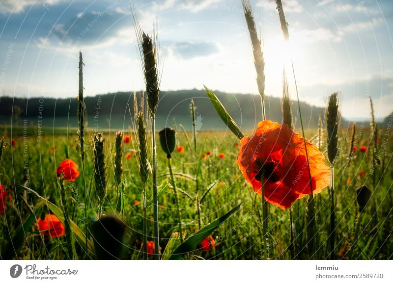 corn poppy Environment Nature Landscape Plant Sky Clouds Sun Sunrise Sunset Summer Beautiful weather Flower Grass Agricultural crop Field Blossoming Faded Moody