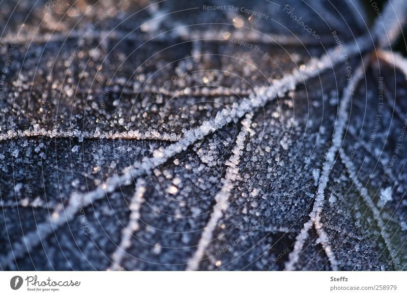 Iced leaf on the forest floor in December icy sheet Woodground Hoar frost iced Frost Freeze differently Cold winter Winter mood Frozen Rachis December light