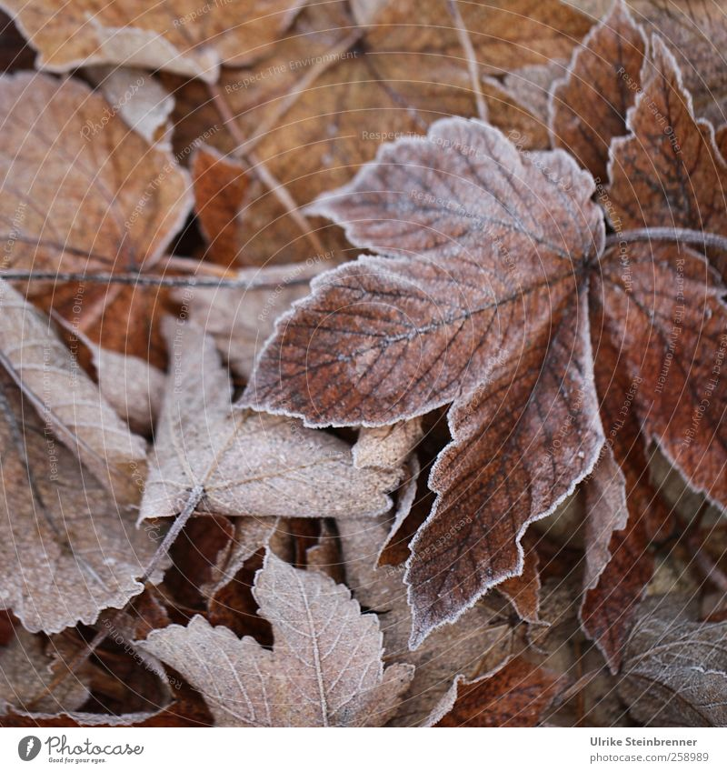 Foliage 2 Environment Nature Plant Winter Weather Ice Frost Leaf Maple tree Maple leaf Meadow Field Freeze Glittering Lie To dry up Cold Sustainability Natural