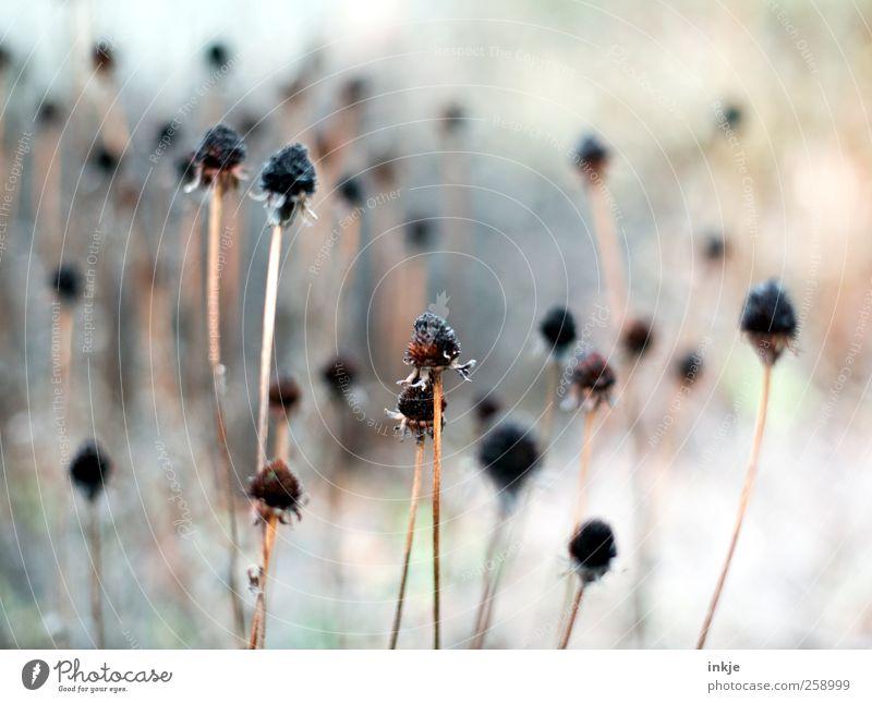 bonjour tristesse Plant Autumn Winter Flower Seed Stalk Pistil Flower stem Blossom Garden Park Stand To dry up Thin Cold Long Gloomy Dry Many Brown Black White