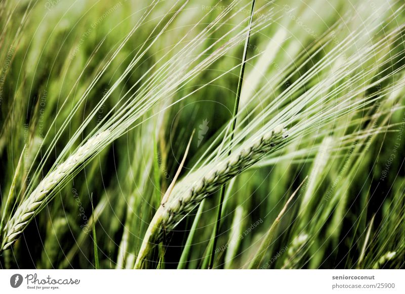 Plant Grain Wheat