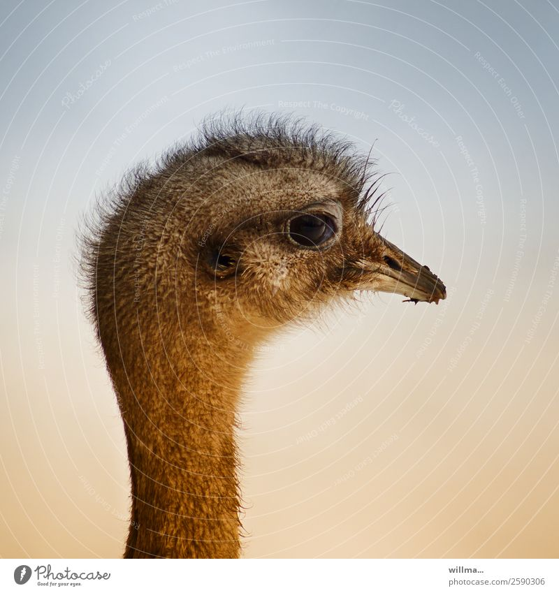 Nandu. Fresh hair. Flightless bird Head Emu Ostrich Profile Beak Exotic Neutral Background birds Animal Wild animal Animal portrait