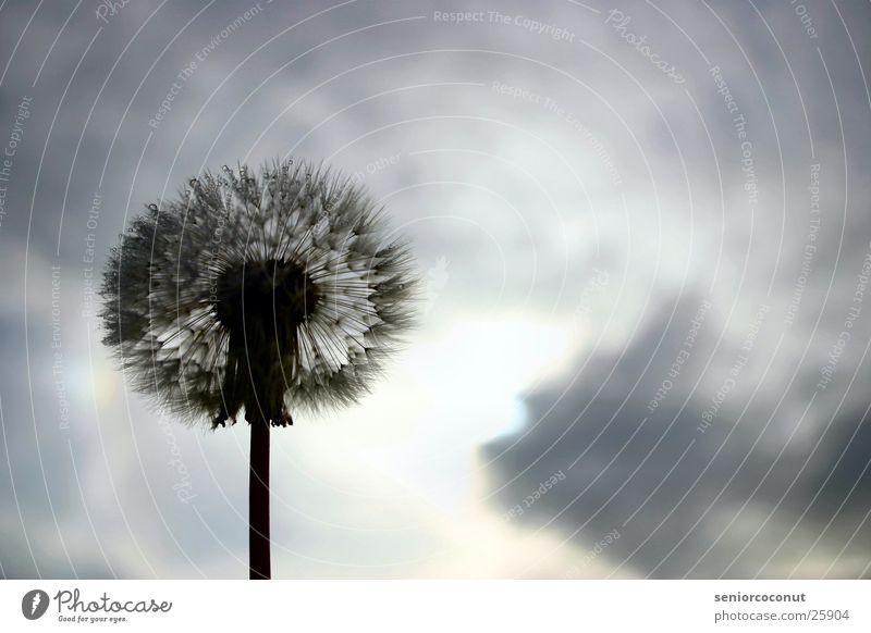 Sky Flower Plant Clouds Drops of water Dandelion Seed