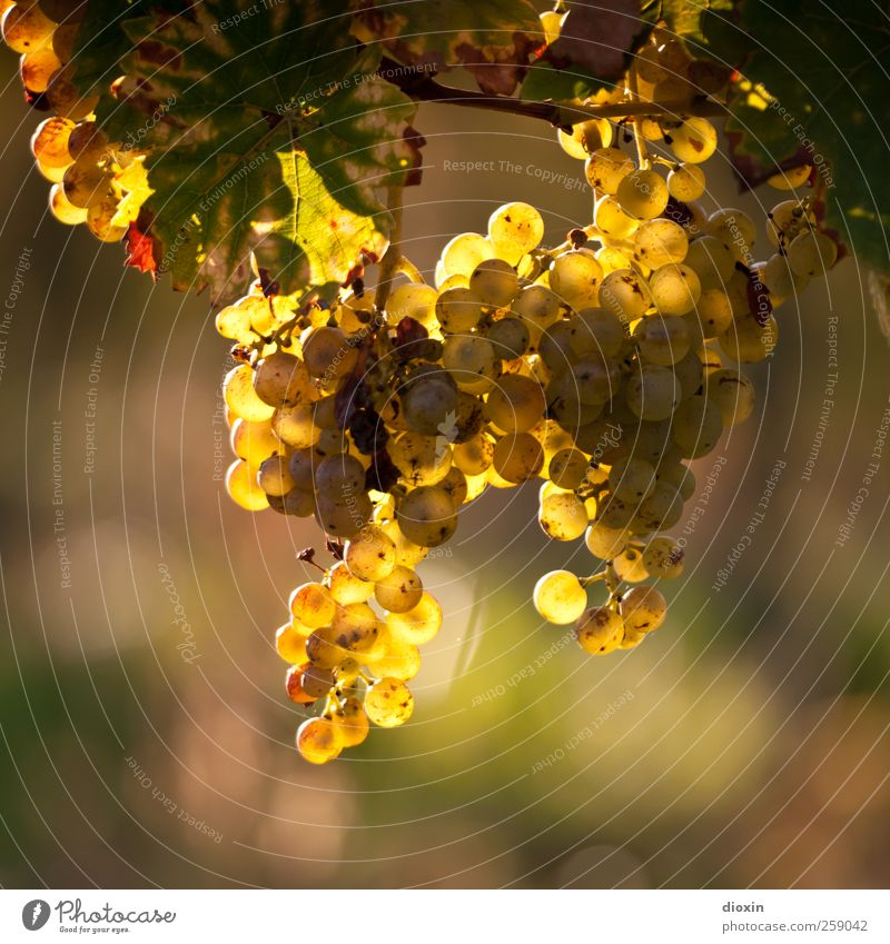 Wine In The Afternoon Sparkling wine Prosecco Champagne Agriculture Forestry Environment Nature Plant Sunlight Autumn Climate Beautiful weather Leaf