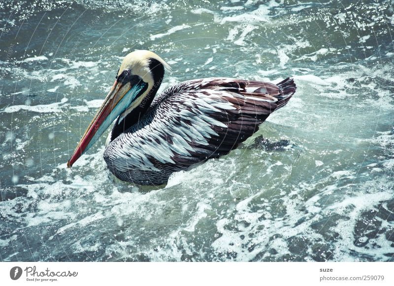 Pelican Environment Nature Elements Water Summer Climate Beautiful weather Animal Wild animal Bird 1 Exceptional Exotic Fantastic Surface of water Swell Foam
