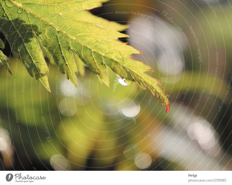 back then...in summer... Environment Nature Plant Water Summer Weather Rain Leaf Foliage plant Maple tree Maple leaf Rachis Garden Ornament Drop Point of light
