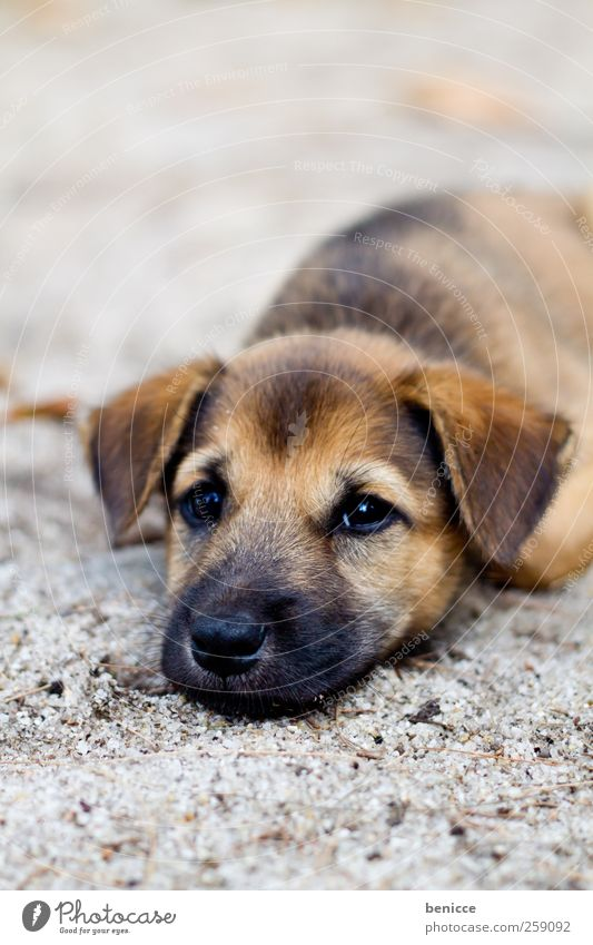 fart Puppy Dog Lie Ground Sadness Fatigue Sleep Puppydog eyes Poverty Cute Beautiful Sweet Sand Beach Grief Animal Pet