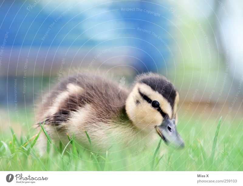 ducklings Grass Meadow Animal Bird 1 Baby animal Cuddly Small Curiosity Cute Chick Duckling Colour photo Exterior shot Close-up Deserted Copy Space top