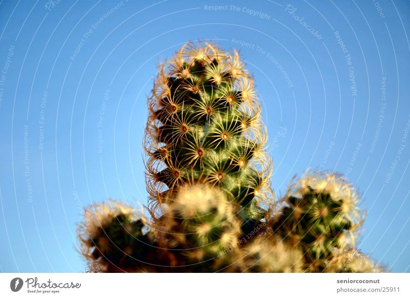 Sky Green Plant Cactus Thorn