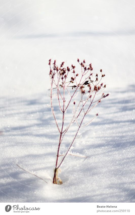 Beloved Winter Snow Winter vacation Nature Plant Sun Beautiful weather Ice Frost Flower Grass Bushes Field Freeze Glittering Esthetic Fantastic Brown Gray White