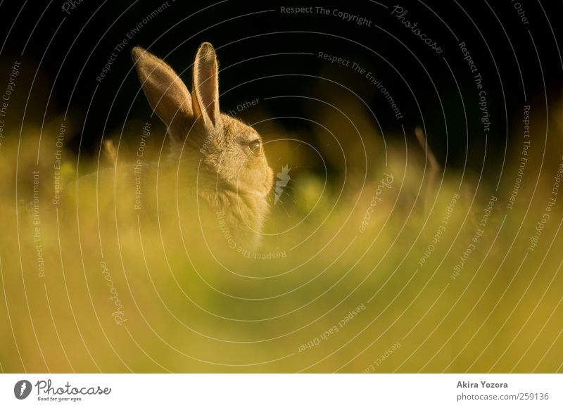 Hidden rabbit Nature Spring Summer Grass Meadow Animal Pet Wild animal Observe Sit Wait Brown Yellow Green Black Hare & Rabbit & Bunny Colour photo
