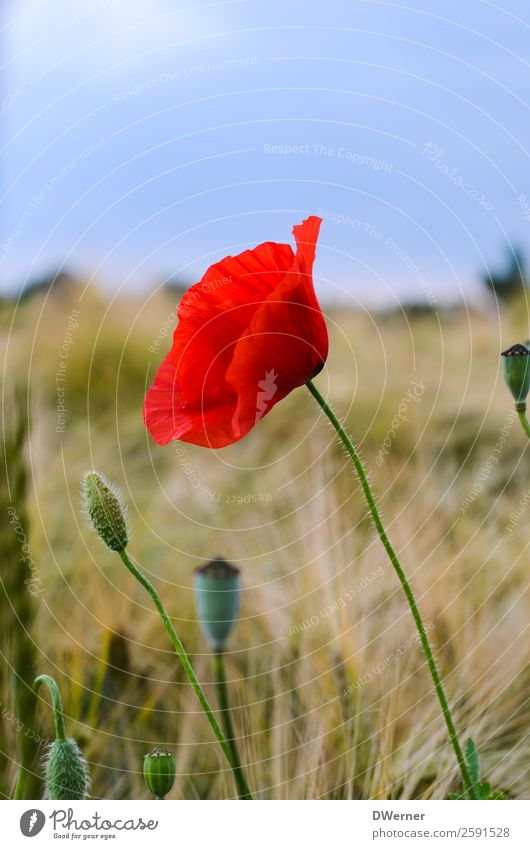 poppy flower Agriculture Forestry Environment Nature Landscape Plant Sky Spring Summer Flower Leaf Blossom Field Growth Beautiful Red Poppy Poppy blossom