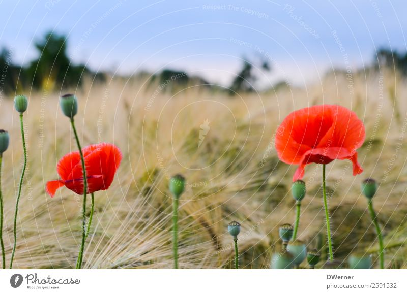 poppy flower Environment Nature Landscape Plant Sky Spring Summer Beautiful weather Flower Leaf Blossom Garden Field Hang Growth Clean Red Contentment Poppy