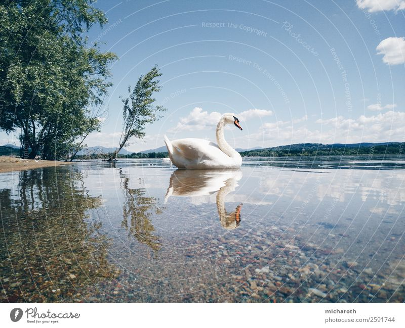 two swans Environment Nature Animal Sand Clouds Spring Summer Climate Climate change Weather Beautiful weather Tree Park Meadow Coast Lakeside Lago Maggiore