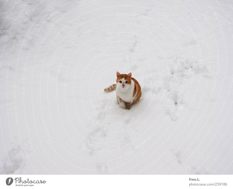 snow hangover Animal Pet Cat 1 Looking Sit Beautiful Cuddly Curiosity Cute Watchfulness Brave Winter Snowfall Tiger skin pattern freigänger Red-haired