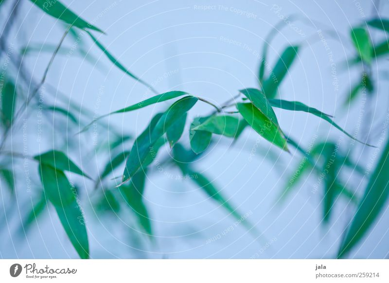 bamboo Nature Plant Bushes Leaf Foliage plant Esthetic Natural Blue Green Bamboo Colour photo Exterior shot Deserted Neutral Background Day
