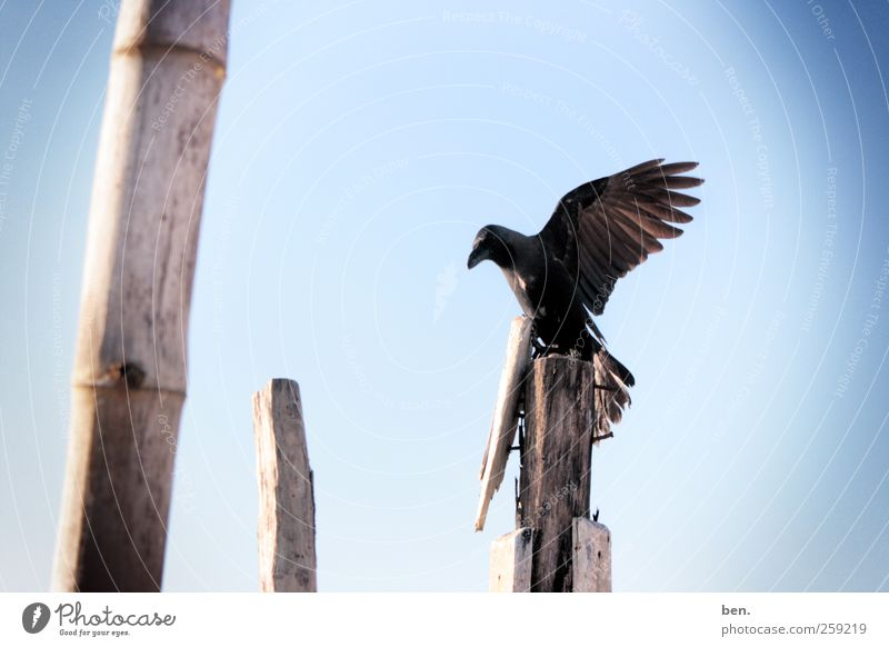 observer Sky Cloudless sky Beautiful weather Bamboo stick Fence post Animal Wild animal Bird Raven birds Crow Wing Observe Wait Bright Colour photo