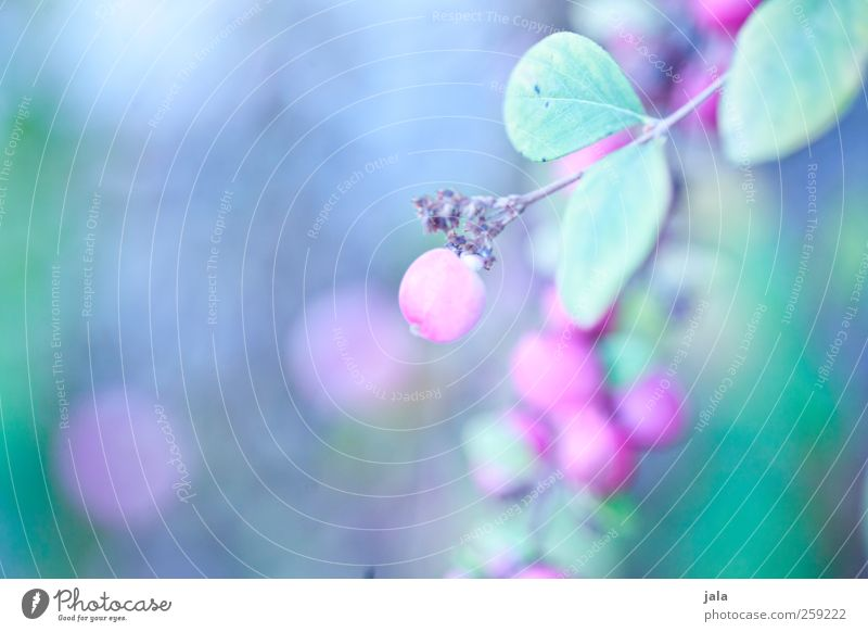 purple berry Nature Plant Spring Bushes Natural Blue Gray Pink firecracker peas Colour photo Exterior shot Deserted Day