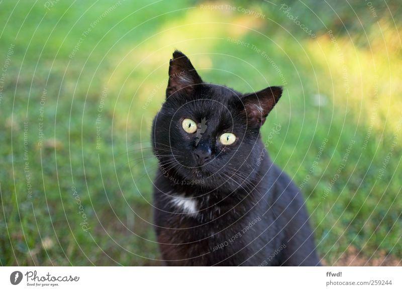 Cat Animal Calm Sit Observe Curiosity Animal face Serene Interest Pet Patient Crouch