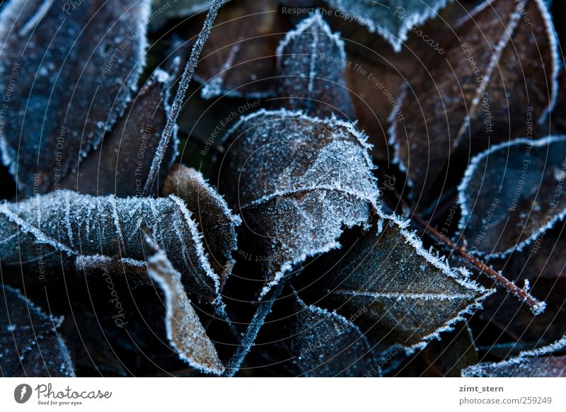leaf tip Nature Plant Autumn Winter Leaf Old Freeze Dark Natural Brown White Calm Death Decline Transience Change Ice Frost Ice crystal Subdued colour