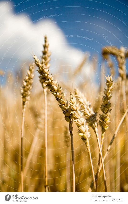 wheat field Grain Agriculture Forestry Landscape Cloudless sky Meadow Field Advancement Contentment Climate Harvest Seasons Agricultural crop agricultural