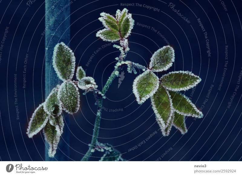 Blue Plant Green Leaf Winter Dark Cold Snow Snowfall Ice Bushes Climate Frost Rose Freeze Ice crystal