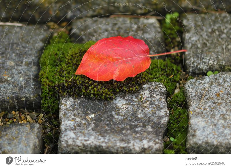 Red leaf on cobblestone pavement Environment Autumn Moss Leaf Beautiful Gray Green Cobblestones Stone Autumnal Carpet of moss Seam Square To fall Lichen Orange