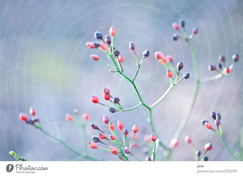 seed heads Environment Nature Plant Spring Bushes Wild plant Esthetic Natural Blue Green Red Black Seed head Colour photo Exterior shot Deserted