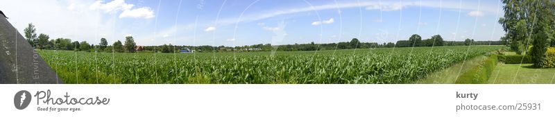 Field Large Panorama (Format) Plain Maize Plant Maize field