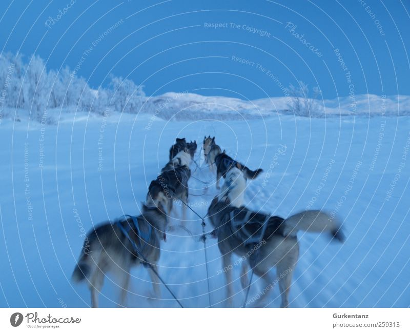 blue ride Adventure Freedom Winter Ice Frost Snow Animal Dog Group of animals Driving Walking Infinity Blue Power Horizon Husky Sled dog Sled dog race Laporten