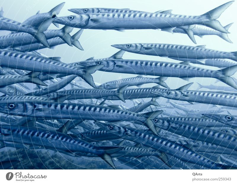 barracuda swarm Dive Environment Animal Water Climate change Coral reef Ocean Fish Flock Hunting Swimming & Bathing Elegant Free Thin Blue Barracuda Italy