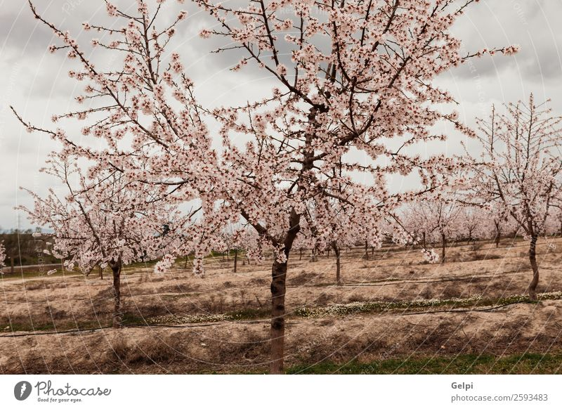 Beautiful almond blossom in a cloudy day Fruit Winter Garden Nature Landscape Plant Sky Spring Tree Flower Leaf Blossom Meadow Blossoming Fresh Natural Blue