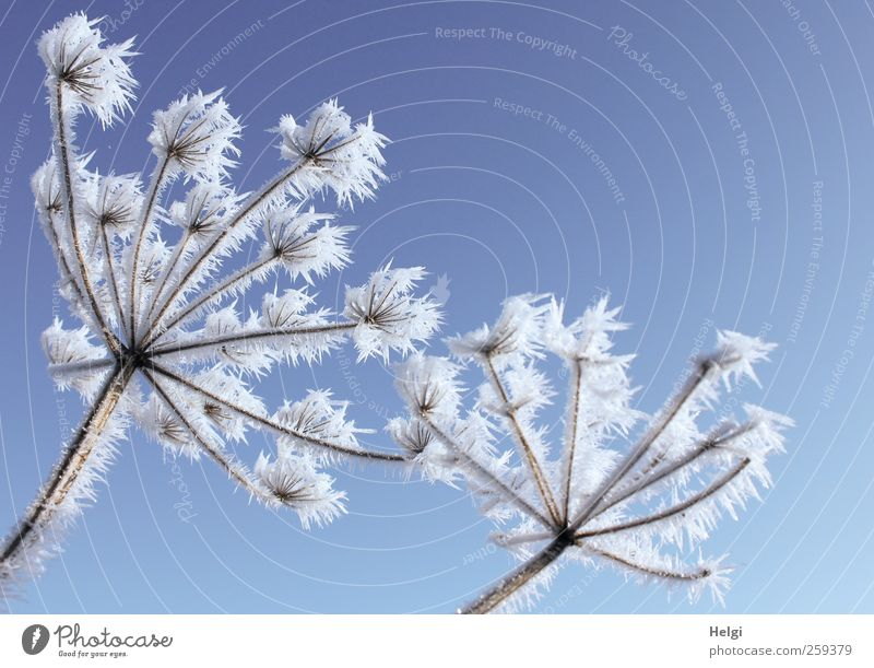 jagged hoarfrost on dried-up flower umbels in front of a blue sky Environment Nature Plant Cloudless sky Winter Beautiful weather Ice Frost Flower Wild plant
