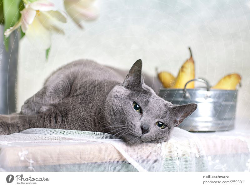 relaxation Food Fruit Pear Nutrition Plant Tulip Blossom Animal Pet Cat Animal face Russian Blue 1 Bowl Wood Metal Relaxation To enjoy Lie Esthetic Elegant