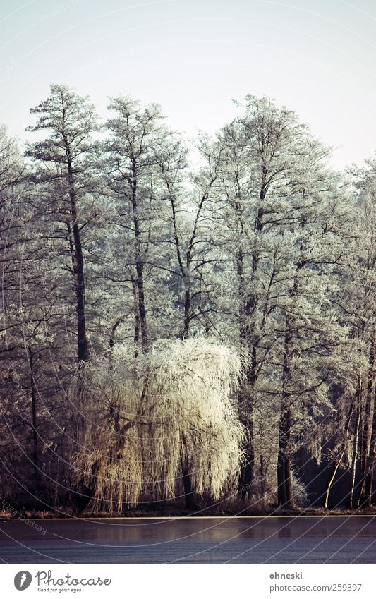 chill Winter Ice Frost Tree Willow tree Weeping willow Lakeside Idyll Cold Life Grief Colour photo Exterior shot Deserted Copy Space top Morning