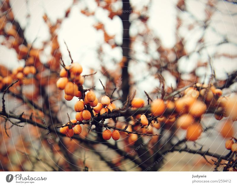 sea buckthorn Environment Nature Plant Autumn Winter Natural Sallow thorn Beach Berries Fruit Thorn Twigs and branches Cold Orange Round Sphere Pallid