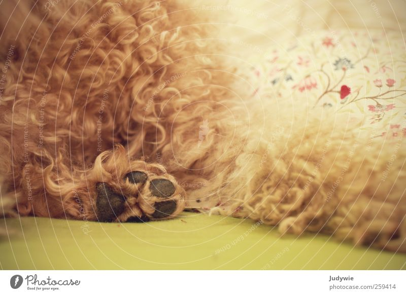 squashy Harmonious Well-being Relaxation Calm Flat (apartment) Bedroom Animal Pet Dog Pelt Paw Lie Soft Warm-heartedness Curl Poodle Curlicue Floral bedlinen