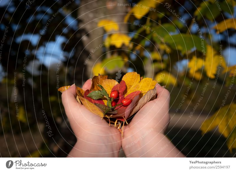 Woman hands holding fall leaves Environment Nature Plant Autumn Beautiful weather Tree Leaf Brown Yellow Red Colour autumn tones Autumnal blur colorful Creation