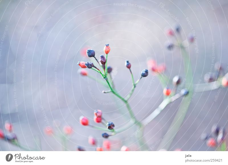 seed heads Environment Nature Plant Spring Bushes Wild plant Esthetic Natural Blue Green Red Seed head Colour photo Exterior shot Deserted Neutral Background
