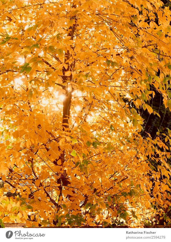 gold rush Environment Nature Spring Autumn Beautiful weather Tree Leaf Garden Park Forest Brown Yellow Gold Orange Red White foliage Deciduous tree