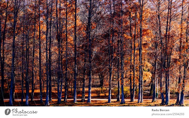 Autumn Red Trees Forest In Fall Season Nature Old Plant Colour Beautiful Landscape Sun Leaf Yellow Environment Natural Freedom