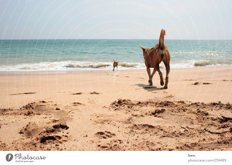 tramps Sand Water Sun Beautiful weather Coast Waves Tracks Dog 2 Animal Pack Pair of animals Animal family Walking Together Curiosity Gloomy Warmth Soft