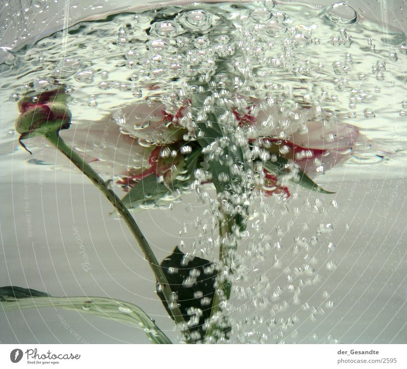 Nature Water Flower Movement Bubbling Photographic technology Peony