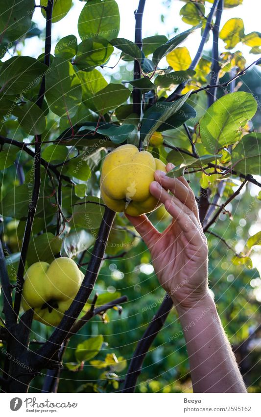 I'm gonna get you! Fruit Garden Woman Adults Hand Plant Autumn Tree Leaf Agricultural crop Touch Discover Fresh Healthy Delicious Yellow Green Determination