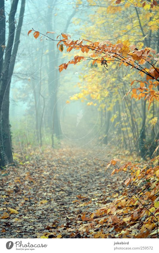 mist walk Autumn Fog Tree Beech wood Beech tree Autumn leaves Automn wood Autumnal colours Forest Footpath Lanes & trails Sadness Grief Autumnal weather