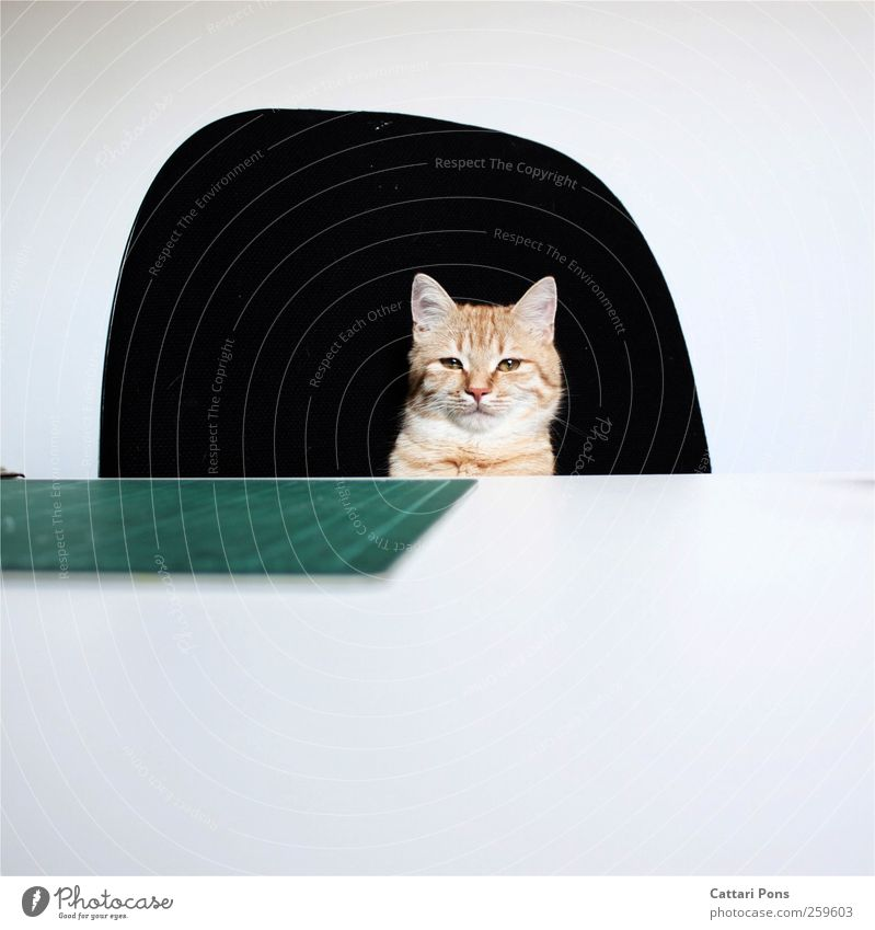 Cat Beautiful Red Animal Office Room Sit Success Cool (slang) Uniqueness Soft Observe Desk Pet Superior Executive chair