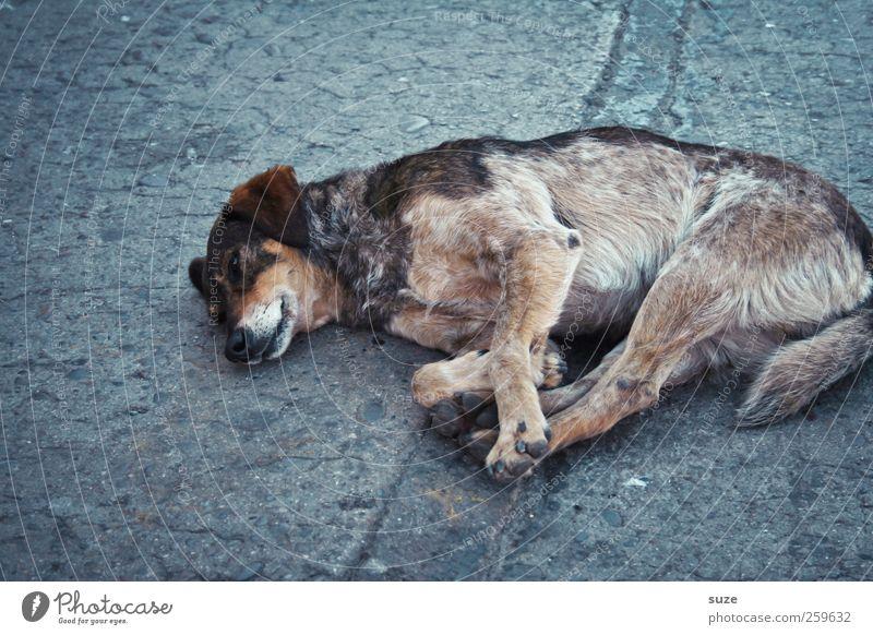 street dog Animal Street Pet Dog 1 Lie Sleep Old Gloomy Gray Sadness Street dog Asphalt Chile South America Crossbreed Shabby Fatigue Loneliness Puppydog eyes